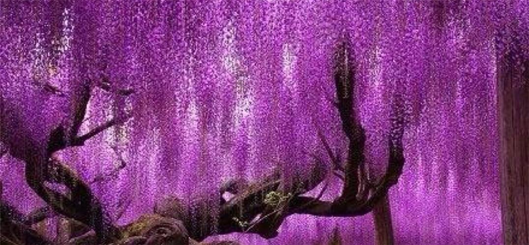 日本144岁紫藤花开 壮美如紫色瀑布