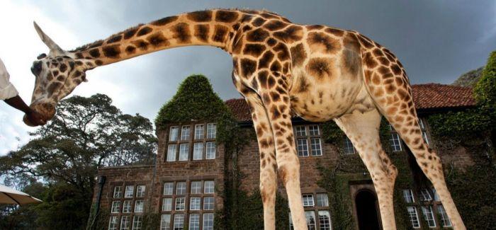 长颈鹿来亲吻你的脸:世界上最有爱的一家酒店