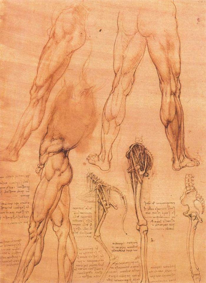 人和狗的腿部解剖结构比较 达芬奇1