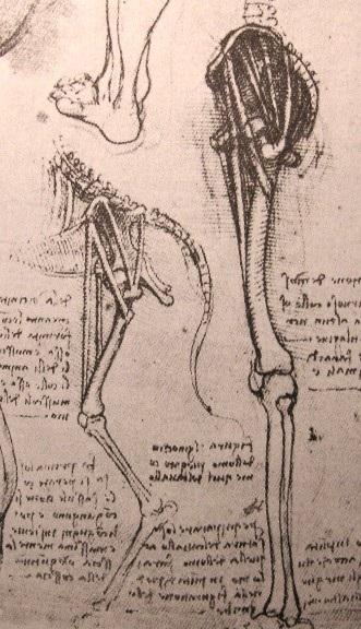 人和狗的腿部解剖结构比较 达芬奇2