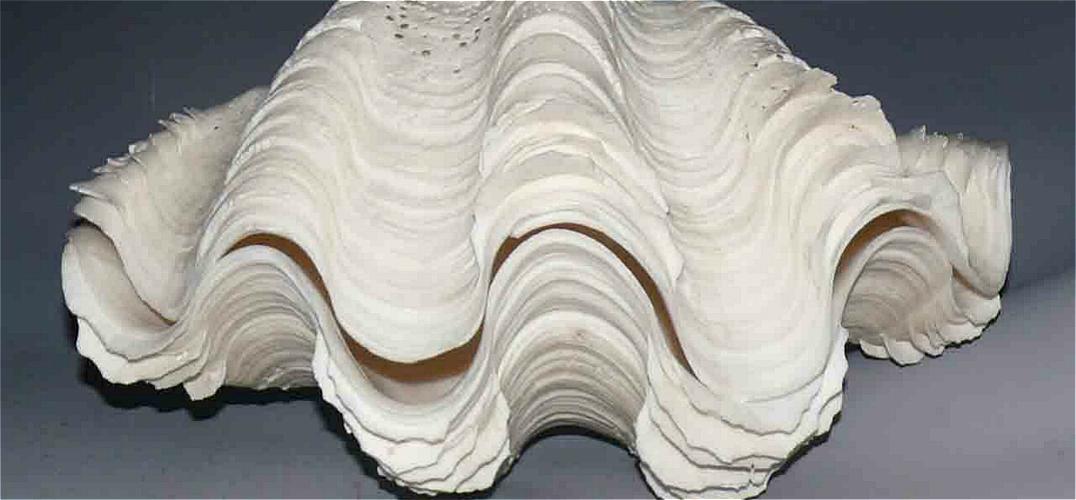 杨波收藏的白色海南砗磲贝样品。  包先生收藏的鱼化石  砗磲 收藏的种类丰富多彩,有自然形成的奇石收藏,有精雕细琢的玉石收藏,有文化底蕴深厚的书画收藏,有经久不衰的瓷器收藏,而说起魅力收藏就不得不提到那些源自深海的藏品了。在神秘的海洋世界当中,经过岁月的洗礼,让它们从动物、植物变成了活化石和有机宝石,备受收藏爱好者的亲睐。 美丽砗磲展现缤纷海世界 文/图 呼和浩特晚报记者 李娟 马妍 砗磲,是分布于印度洋和西太平洋的一类大型海产双壳类贝,世界上报道的只有6种,都生活在热带海域的珊瑚礁环境中。之所以藏