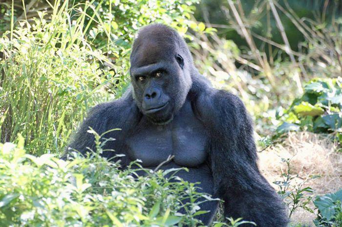 深沉帅气的脸:那个刷爆网络的猩猩 要出写真