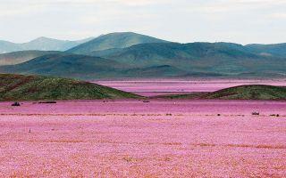 世界最干燥沙漠大雨过后 花开遍地