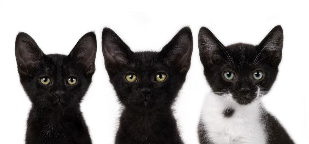 美又萌的小黑猫 并不会让你变得不幸