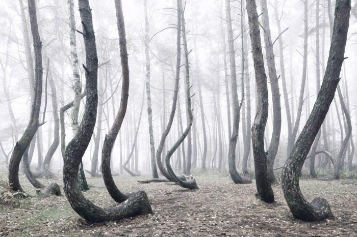 一个未解之谜 波兰弯曲森林