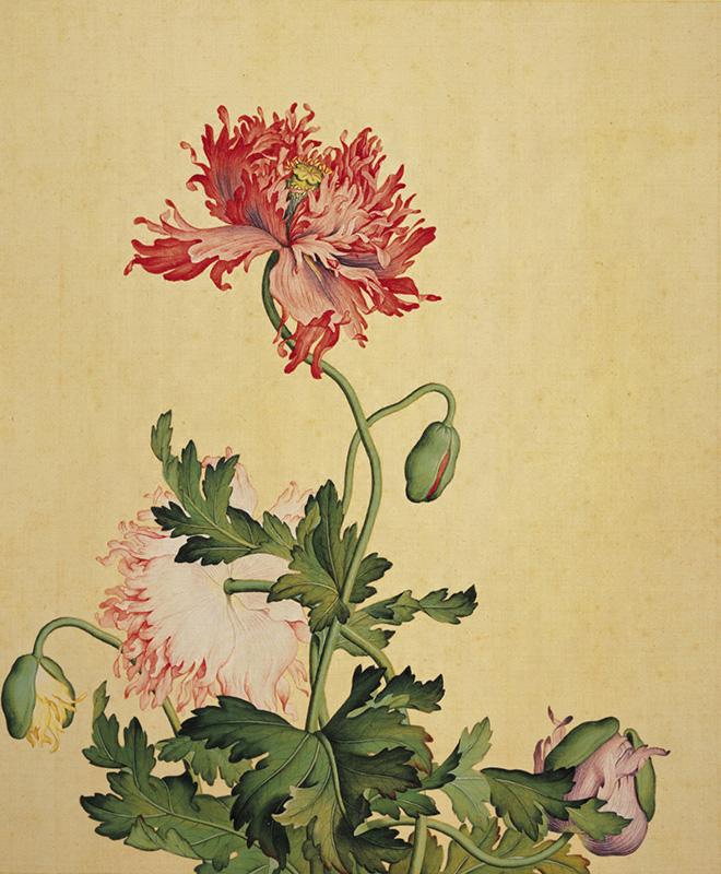 郎世宁《仙萼长春图册-罂粟》