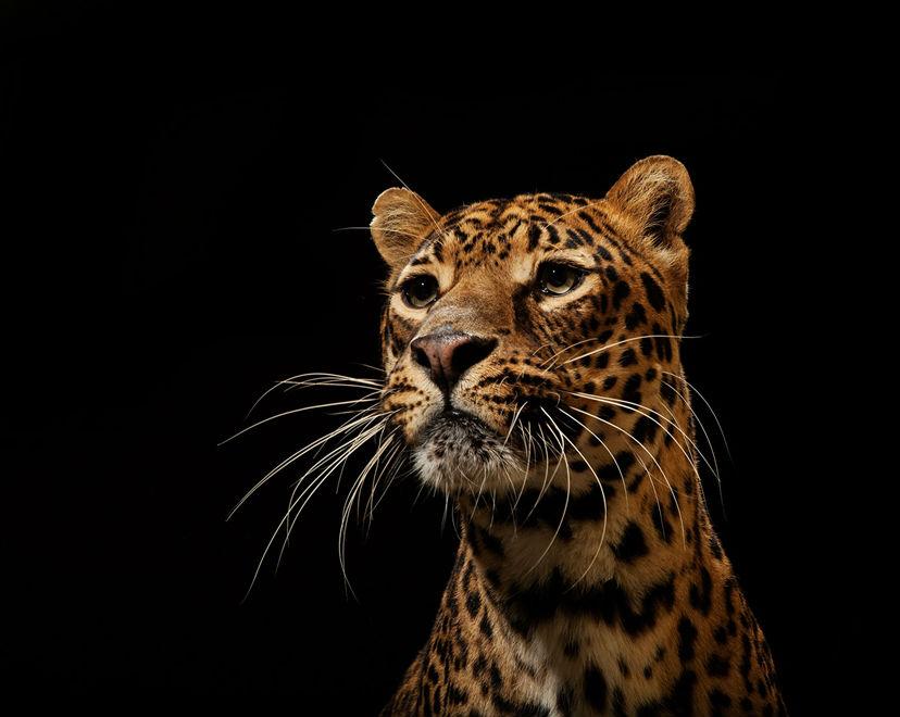 老虎是世界上体型最大的猫科动物.