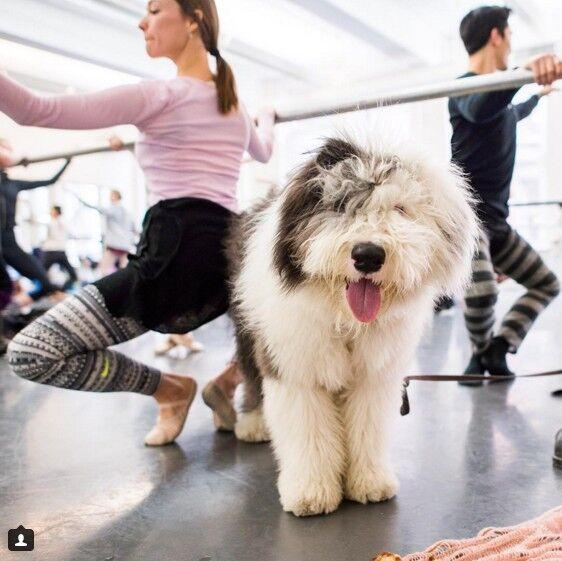 zooskool八狗一女-方 别再把你的狗狗锁在家里 带他们来跳芭蕾吧