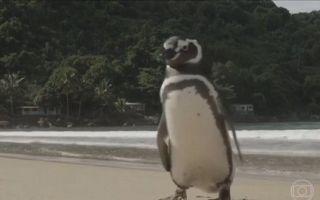 这只成功获救的企鹅每年都要游渡 8 千公里回来见他