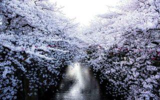 绽放的樱花 让人忍不住想立即飞奔到日本啊