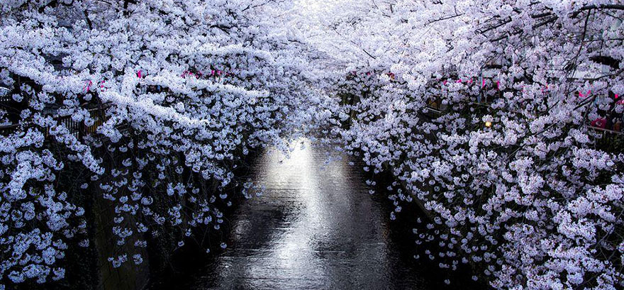 又到樱花烂漫时 今年日本樱花祭去看看什么叫做摄人心魂的花海吧?