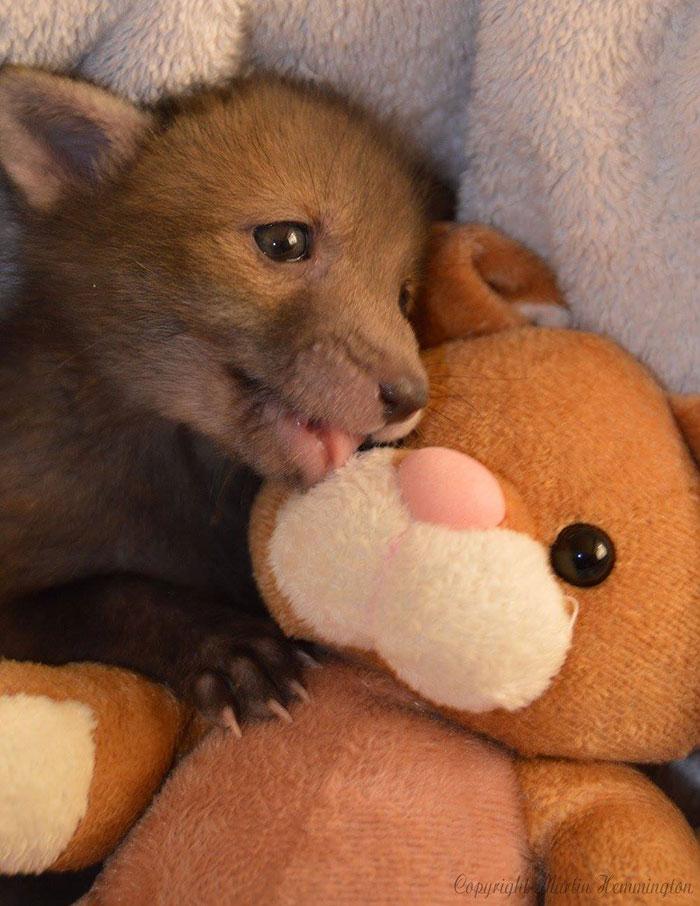 真实版《疯狂动物城》:狐狸和兔子又在一起啦!