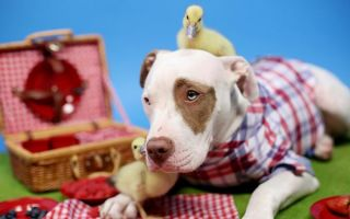 这只被人领养的大狗又收养了两只鸭子