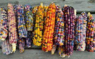 进击的大自然:这些像玻璃珠宝的天然彩色玉米有没有惊艳到你