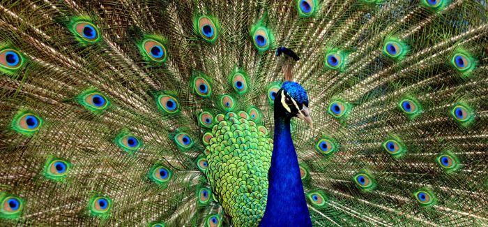 微观视野里的孔雀羽毛  比开屏更美艳!