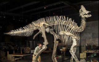 荷兰博物馆拍卖恐龙化石 鸭嘴龙骨架拍出百万
