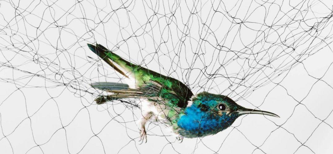 """11年前,艺术家Todd Forsgren在波士顿慢跑途中发现了一只被卡在铁丝网里的黑冠夜鹭。目睹到鸟类轮廓与矩阵般铁丝网所形成的对比,他突然脑洞大开想出了一种拍摄鸟类的独特方式。 """"我老爸老妈都是鸟类爱好者,""""Forsgren说道。""""我关于艺术的最早记忆就是翻阅John James Audubon和Roger Tory Peterson的作品。""""受到夜鹭的启发,Forsgren着手拍摄了一系列照片,它们融合了这两人的长处,兼具华丽感与实用性。    For"""