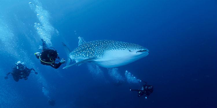 邂逅《进化论》灵感发源地 记得去年年初第一次去诗巴丹潜水时,听同行的潜伴们说加拉帕戈斯群岛是所有潜水员心中的终极潜点。当时由于刚接触潜水,不敢奢望太多,只希望能够慢慢地提高技术积累经验,有朝一日可以去大洋彼岸那个遥远的地方朝圣。没想到去年临近年底,一次偶然的机会,这次朝圣之旅意外地提前到来了。 加拉帕戈斯一直与达尔文的名字密不可分,达尔文曾于1835年来到加拉帕戈斯,他被400多种群岛特有的奇特生物所吸引。他通过对比该群岛物种与南美大陆物种的相似性与差异性,最终得出了举世闻名的进化论,打破了欧洲教廷延续
