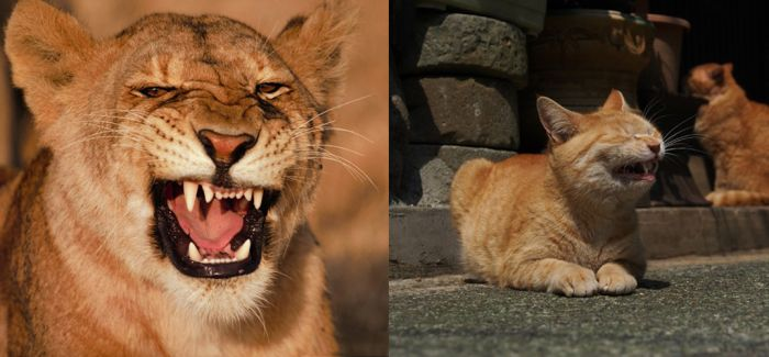 猫还是狮子?傻傻分不清楚