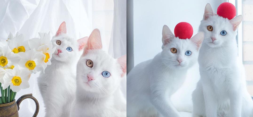 这可能是全球最美的双胞胎猫了