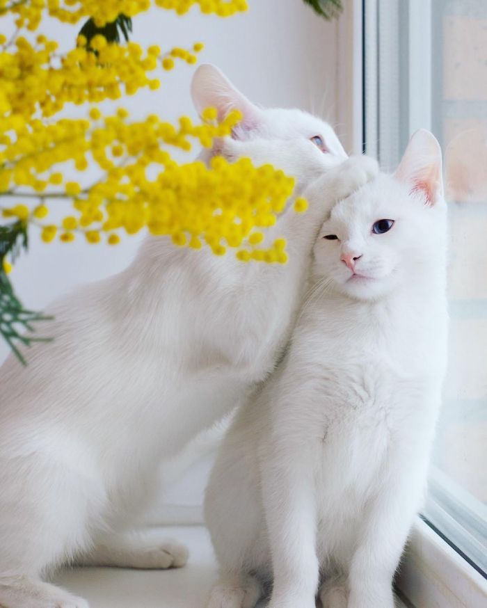 不论是在时尚界、艺术界,还是日常生活中,双胞胎总是令人着迷,长得一模一样,却又有点不太一样,拥有心灵相通的奇妙本事,而且两个人在一起拍照,看起来总是有些奇幻的美感,而猫界也有这样一对绝美的双胞胎–Iriss 和 Abyss。   Iriss 和 Abyss 出生于 2015 年 11 月 11 日,完全就是奇异的双胞胎密码,两个小女孩子,除了拥有雪白的柔软毛发之外,还都拥有一蓝一金的双色眼睛,加上粉红色小鼻子,简直让人融化的可爱长相,如果转为人类的审美,绝对是美人胚子。 她们的 &ldquo