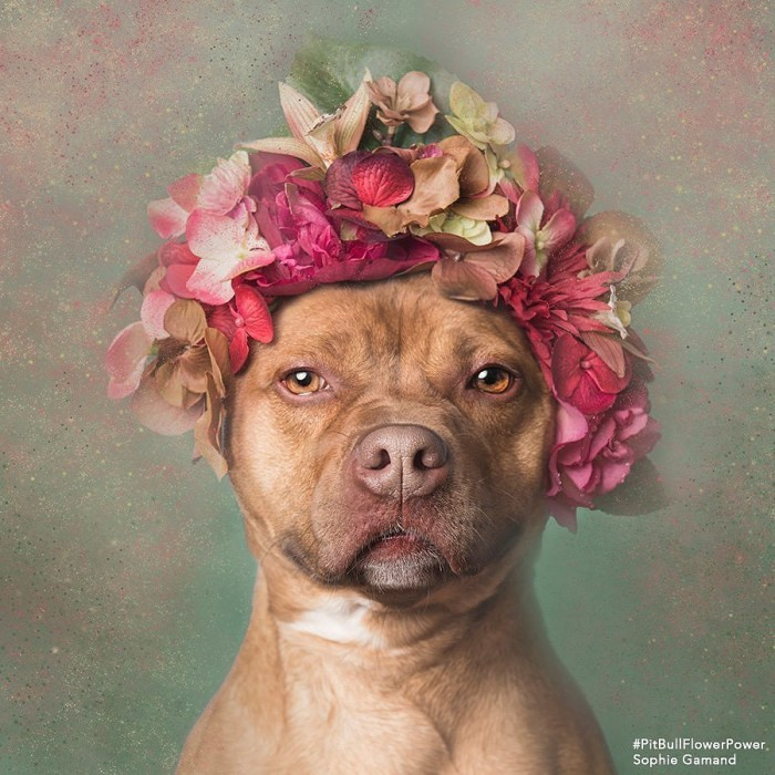 These Pit Bulls Wearing Flower Crowns Will Melt Your Heart 2