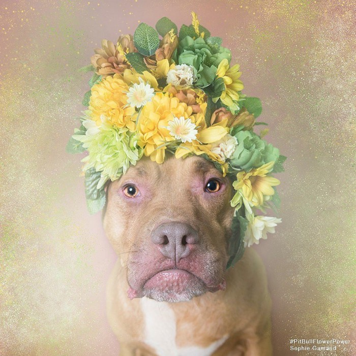 These Pit Bulls Wearing Flower Crowns Will Melt Your Heart 4