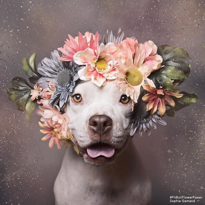 These Pit Bulls Wearing Flower Crowns Will Melt Your Heart 3