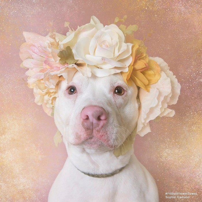 These Pit Bulls Wearing Flower Crowns Will Melt Your Heart 1