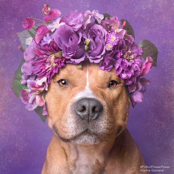 These Pit Bulls Wearing Flower Crowns Will Melt Your Heart 10