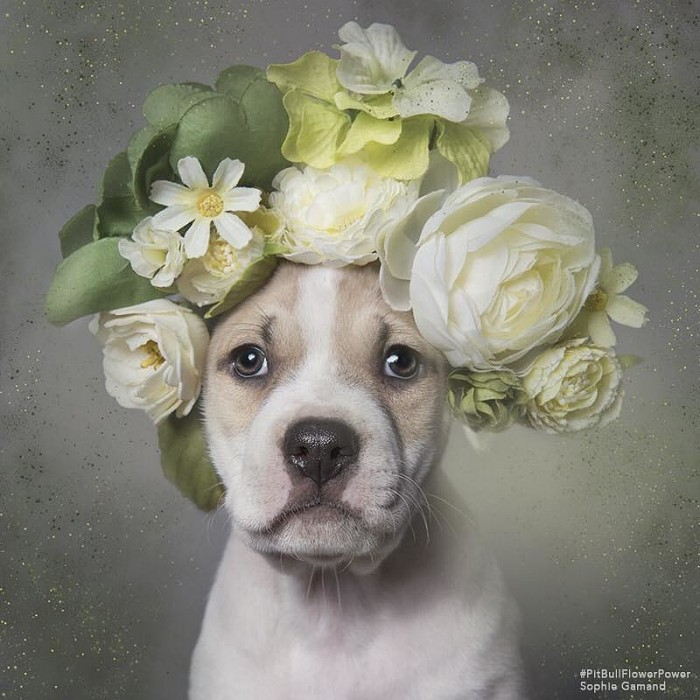 These Pit Bulls Wearing Flower Crowns Will Melt Your Heart 9