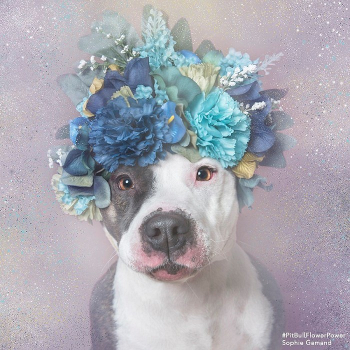 These Pit Bulls Wearing Flower Crowns Will Melt Your Heart 6