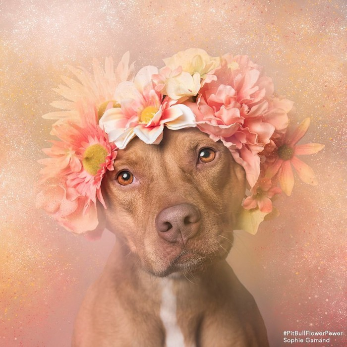 These Pit Bulls Wearing Flower Crowns Will Melt Your Heart 7
