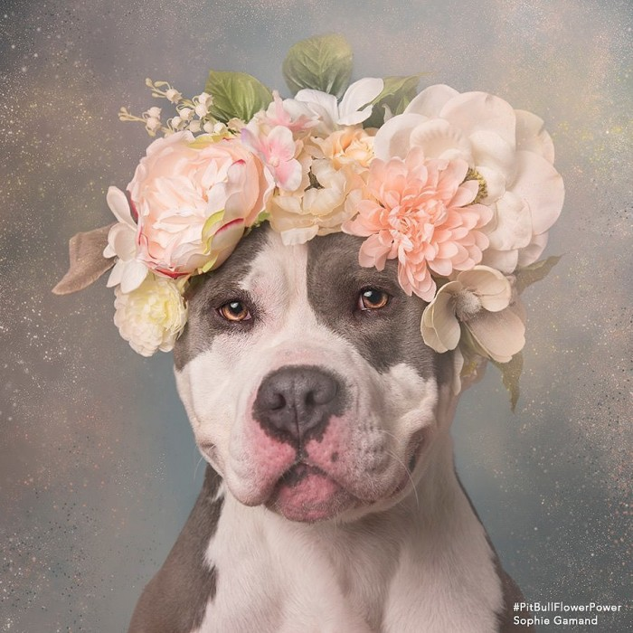 These Pit Bulls Wearing Flower Crowns Will Melt Your Heart 8