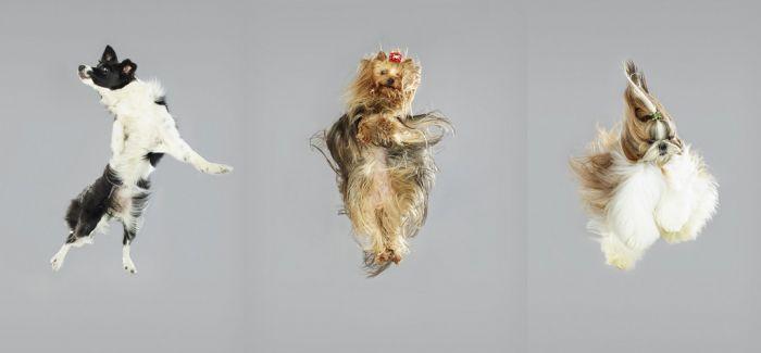 让汪星人飞!德国摄影师拍摄小狗自由落体照片