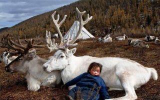 Hamid Sardar摄影作品:在泰加针叶林 与驯鹿作伴