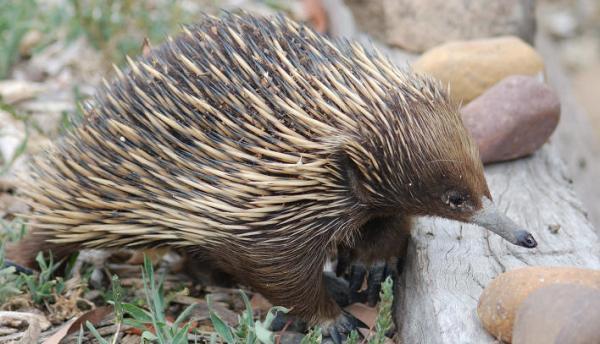 针鼹是一种原始的哺乳动物,主要分布于澳大利亚,新几内亚.
