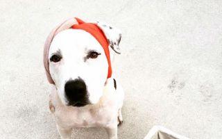 残缺为什么不能时尚 掀起世界关注的头巾犬
