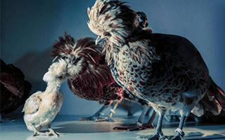 蓬蓬头逆袭!80年代造型鸡摄影