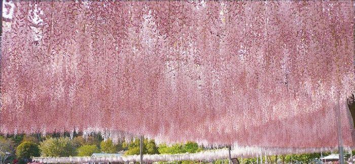 一同体验宛如瀑布般雄伟的紫藤花吧!