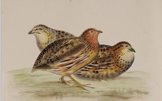 法国传教士手绘鸟类图谱在北京展出