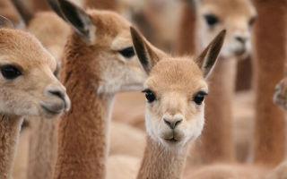 为什么一件Loro Piana骆马毛针织衫可以卖到五位数?