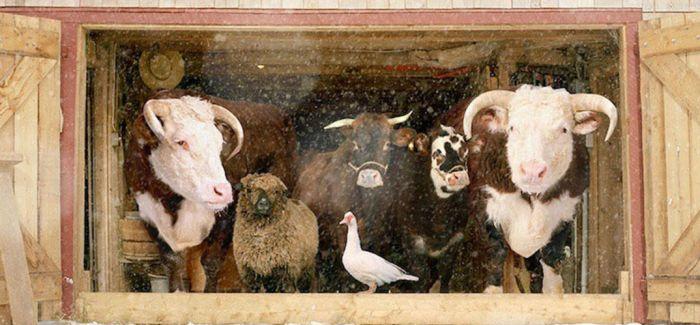 摄影师Rob MacInnis专门为农场的动物们拍写真