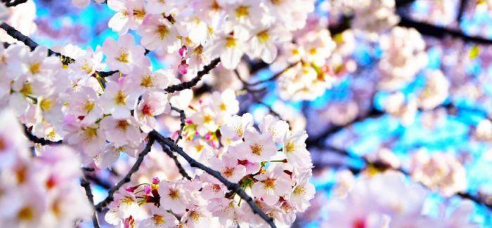 日本 春之樱