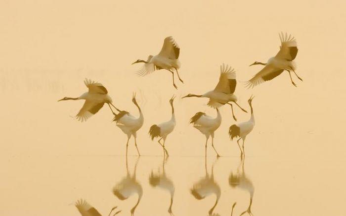 切过镜头一看,欣喜若狂,原来是一群野生丹顶鹤,这是我第一次亲眼目睹
