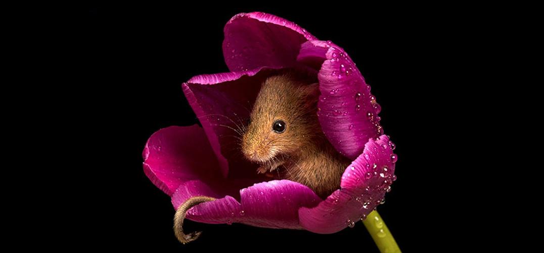 花朵中的小鼠