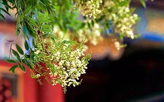 槐花香里初夏的味道