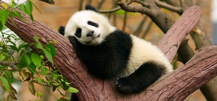 园林博物馆中的熊猫文化