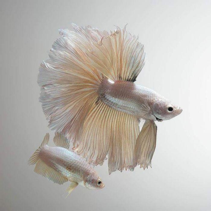 siamese-fighting-fish-portraits-visarute-angkatavanich-3