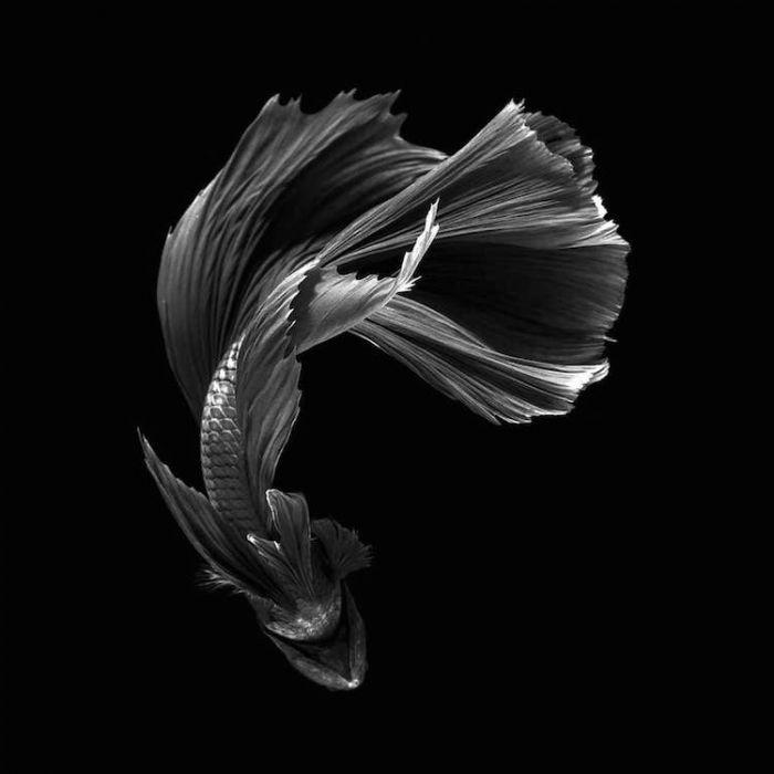 siamese-fighting-fish-portraits-visarute-angkatavanich-10
